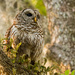 Mom Barred Owl! by rickster549