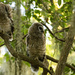 Baby Barred Owls Trying to Get Mom's Attention!