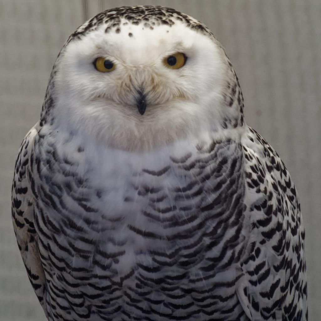 snowy owl by rminer