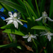 white squill landscape