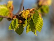 21st Apr 2019 - Fresh leaves