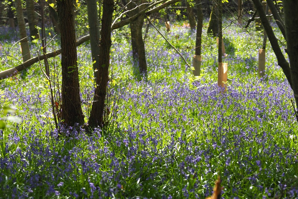 Magical bluebell carpet at Sissinghurst Castle! by bizziebeeme