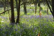 21st Apr 2020 - Magical bluebell carpet at Sissinghurst Castle!