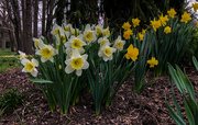 22nd Apr 2019 - Daffodils