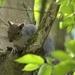 A Grey Squirrel