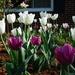 My tulips