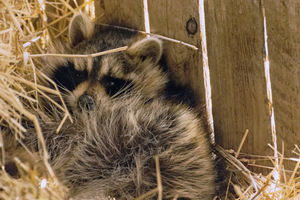 Raccoon Has Moved In by farmreporter