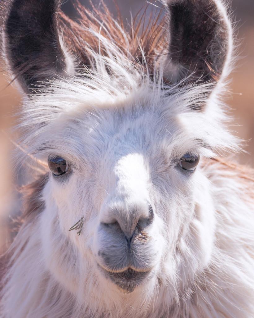 llama by aecasey