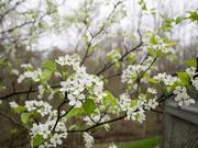 13th Apr 2019 - Pear blossoms
