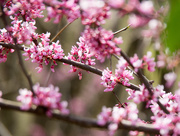 16th Apr 2019 - Red bud blossoms