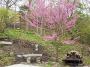 17th Apr 2019 - Red bud tree