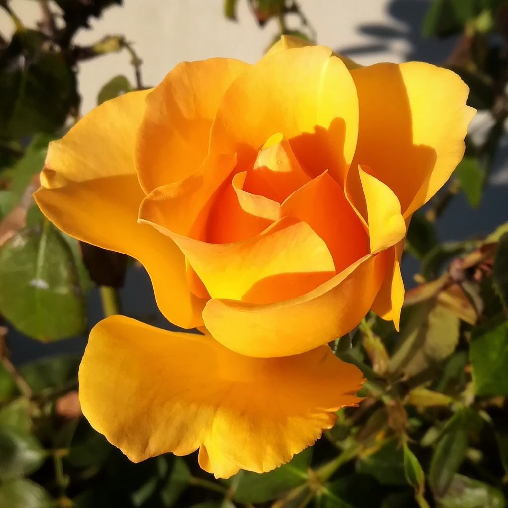 Yellow Rose by salza