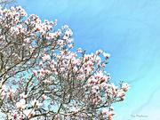 22nd Apr 2019 - Magnolia Sky