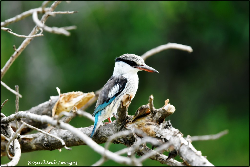 Woodland Kingfisher by rosiekind