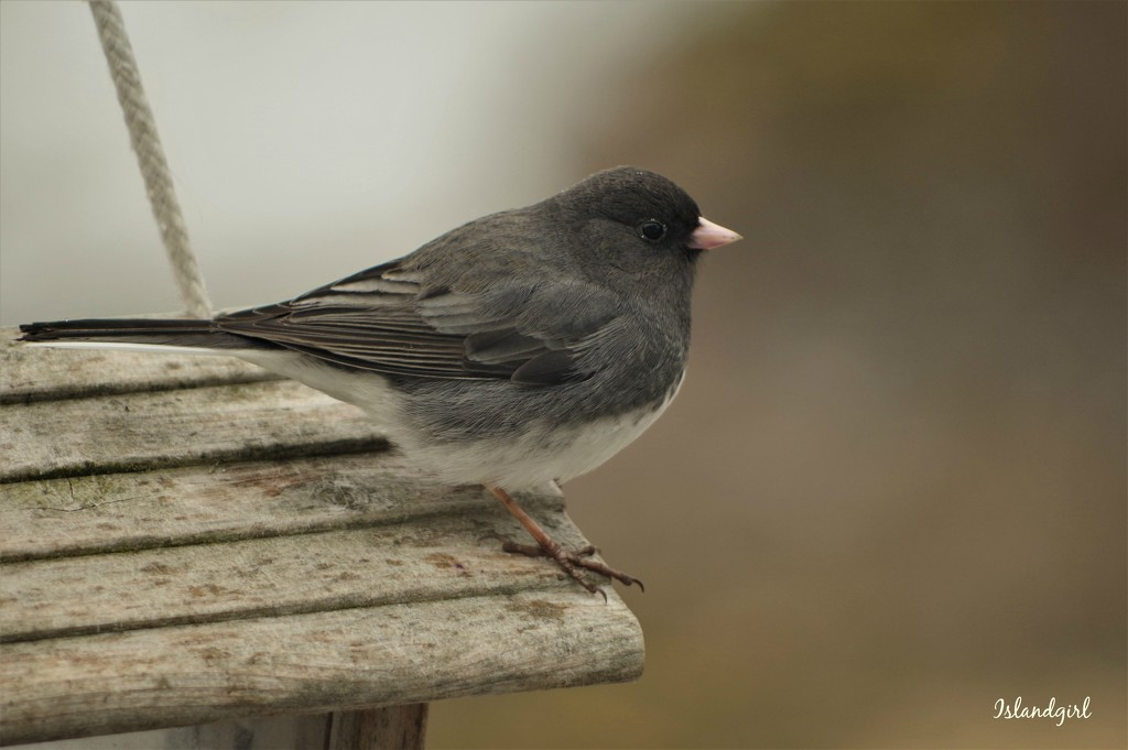 The Juncos are back by radiogirl