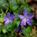 Invasive Common Periwinkle