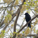 red-winged blackbird in a spring tree