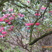 The rhododendrons at Hergest