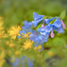 flowers from Mt. Vernon gardens - Virginia bluebells by jernst1779