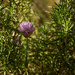 Chives in the rosemary by randystreat