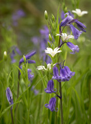 23rd Apr 2019 - bluebells and white flowers