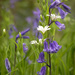 bluebells and white flowers