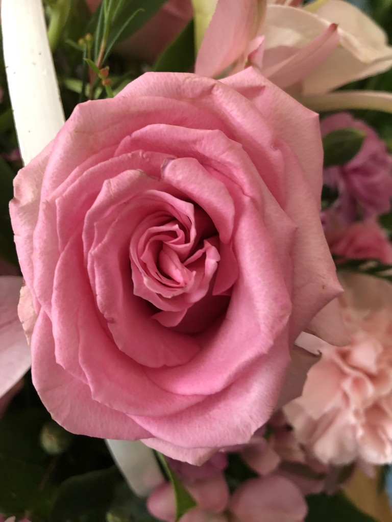 Pink Roses by homeschoolmom