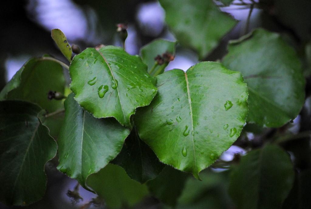 Raindrops Keep Falling on My Leaves by genealogygenie