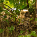 Great Horned Owl Baby's, Keeping an Eye on Me!