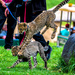 Flying Cheetah