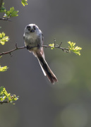 24th Apr 2019 - long tailed tit