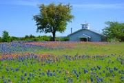 24th Apr 2019 - The Bluebonnets and Indian Paintbrush wildflowers in central Texas