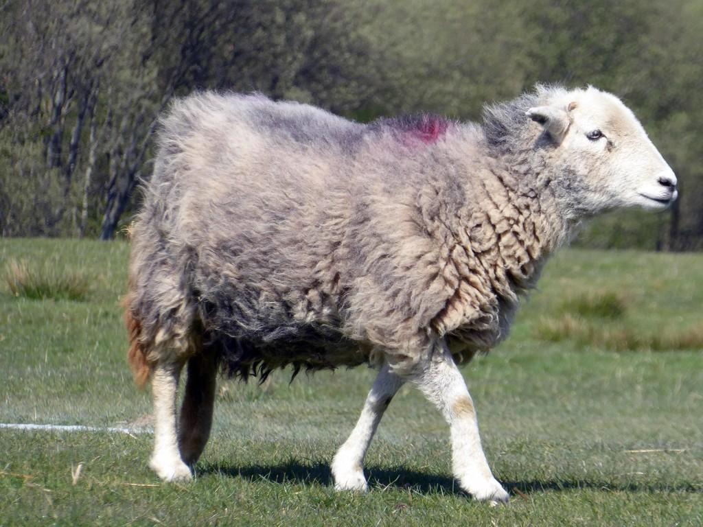 Herdwick Sheep by cmp