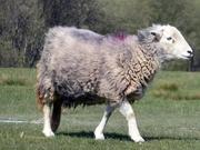 18th Apr 2019 - Herdwick Sheep
