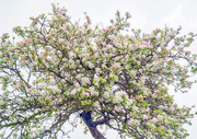 24th Apr 2019 - Old Apple Tree.