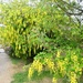 Lovely Laburnum