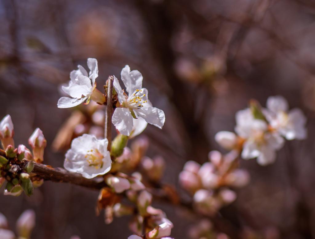 blossom by aecasey