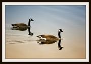 24th Apr 2019 - Canada Geese