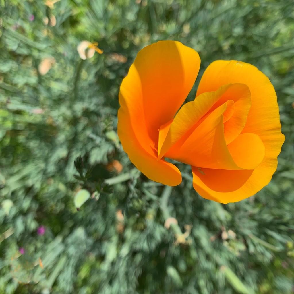 California Poppy by shutterbug49