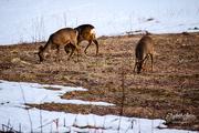 24th Apr 2019 - Deers