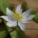 false rue-anemone by rminer