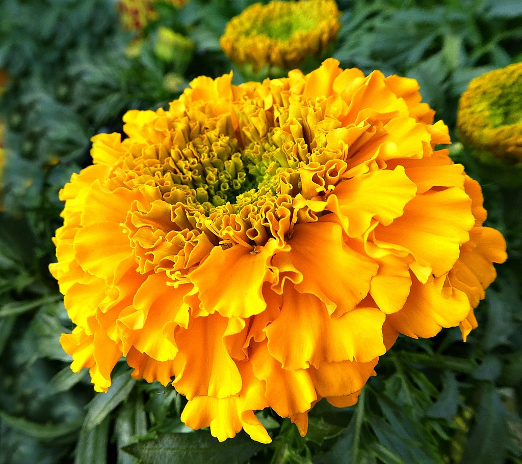 African Marigold. by wendyfrost