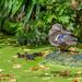 Late Ducklings