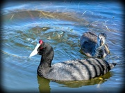 25th Apr 2019 - Mum and baby Red Knobbed Coot