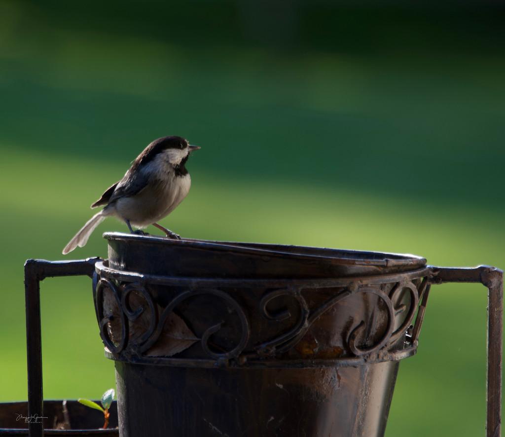 ~Black-Capped Chickadee~ by crowfan