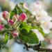 Apple blossoms by haskar