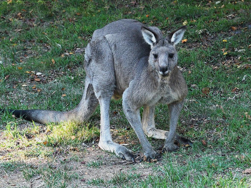 grey kangaroo in my garden by fr1da