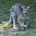 grey kangaroo in my garden