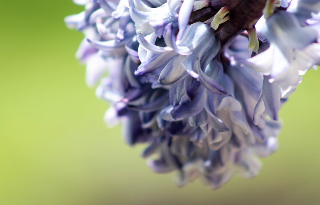 Hyacinth by mittens