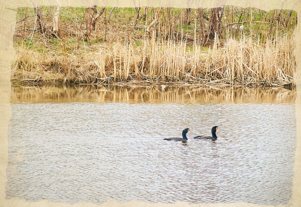 The Cormorants are Coming ! by gardencat
